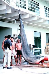 Photo of suspended tiger shark next to four men.