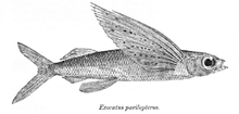 Cypselurus poecilopterus Day.png