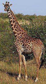 GiraffaCamelopardalisTippelskirchi-Masaai-Mara.JPG