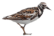 Ruddy-turnstone-icon.png