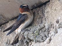 Cliff Swallow Builder.jpg