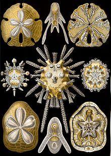 Haeckel Echinidea.jpg