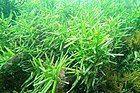 Amphibolis griffithii 34184967.jpg