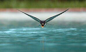 Swallow flying drinking.jpg