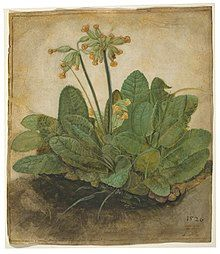 Image of a trust of cowslips, gouache on vellum
