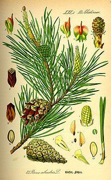 Illustration Pinus sylvestris0.jpg