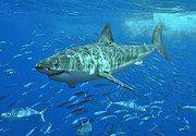 White shark.jpg