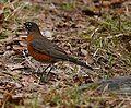 American Robin at Beacon Hill Park.jpg