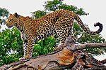 Leopard on a horizontal tree trunk.jpg