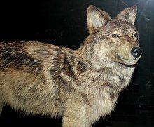 Stuffed Newfoundland wolf.jpg