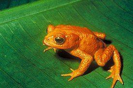 金蟾蜍,最后一次发现于1989年。