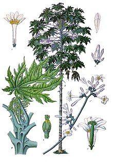 Carica papaya - Köhler–s Medizinal-Pflanzen-028.jpg