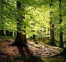 Beech Forest – Grib Skov, Denmark