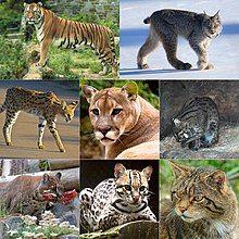 The Felidae.jpg