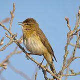 Willow Warbler Phylloscopus trochilus.jpg