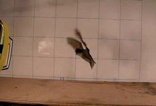 File:Flapping-Tail-Membrane-in-Bats-Produces-Potentially-Important-Thrust-during-Horizontal-Takeoffs-and-pone.0032074.s004.ogv