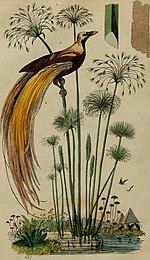 Drawing of a greater bird of paradise on papyrus