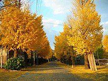 Ginkgo-trees-Uji-kousakusho 02.JPG