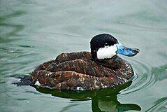 Ruddy Duck at Whipsnade Zoo.jpg