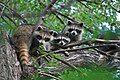 Three raccoons in a tree.jpg