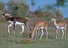 Blackbuck antelope of India