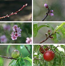 Nectarine Fruit Development.jpg