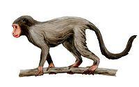 Aegyptopithecus NT.jpg