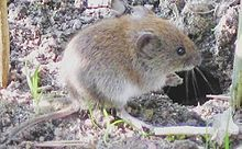 """The bank vole (""""Myodes glareolus"""") lives in woodland areas in Europe and Asia."""