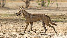 Photograph of a wolf trotting across an arid terrain