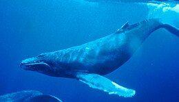 Humpback Whale underwater shot.jpg