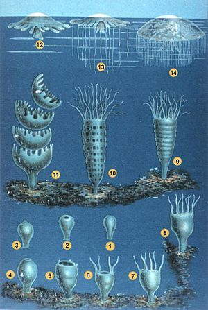 Illustration of two life stages of seven jelly species