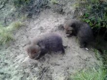 File:Fox kits in front of fox hole.ogv