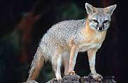 Gray fox on a rock