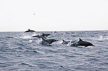 Dolphins Oman-2.jpg