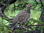 Spruce Grouse (Falcipennis canadenis) RWD.jpg