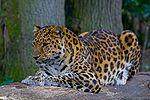 Amur Leopard (P.p. amurensis).jpg
