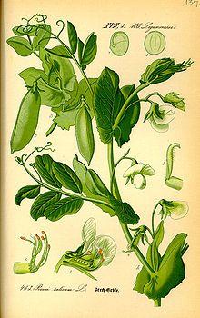 Illustration Pisum sativum0.jpg
