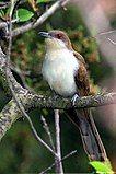 Black-billed-cuckoo2.jpg
