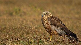 Marsh Harrier Male.jpg