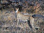 Cheetah (Kruger National Park, South Africa, 2001).jpg