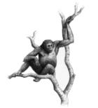 Dryopithecus laietanus
