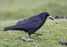 Corvus frugilegus -Dartmoor, Devon, England-8.jpg