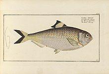 D. Marcus Elieser Bloch's, ausübenden Arztes zu Berlin ... Oeconomische Naturgeschichte der Fische Deutschlands (20936899581).jpg