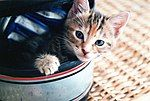 Kitten in a helmet.jpg