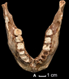TPL2 mandible