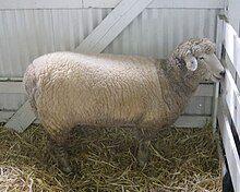 雌性罗姆尼羊