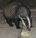 Badger Cornwall 3.jpg