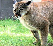 Cougar pounce.jpg