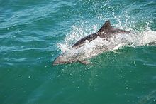 Dolphins at Lüderitz, Namibia (3144863196).jpg