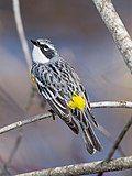 Myrtle Warbler - Portland, ME.jpg